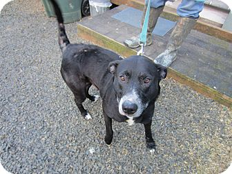 Labrador Retriever/Husky Mix Dog for adoption in Tillamook, Oregon - Mimi