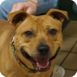 Shepherd (Unknown Type)/Terrier (Unknown Type, Medium) Mix Dog for adoption in Eatontown, New Jersey - Butch