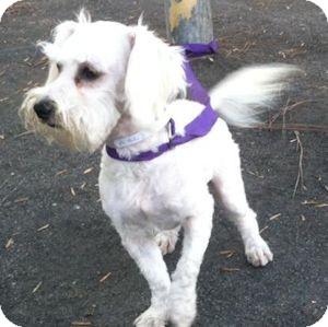 Schnauzer (Miniature)/Maltese Mix Dog for adoption in Redondo Beach, California - Tammy