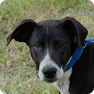 Great Dane/Border Collie Mix Puppy for adoption in Stillwater, Oklahoma - Jericho