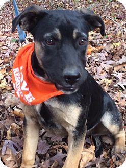 Mastiff/Boxer Mix Dog for adoption in Hatifeld, Pennsylvania - Daisy Belle