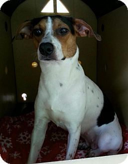 Jack Russell Terrier/Beagle Mix Dog for adoption in New Martinsville, West Virginia - Dorothy