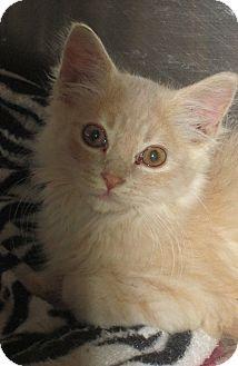 Domestic Mediumhair Kitten for adoption in Pueblo West, Colorado - Barnaby