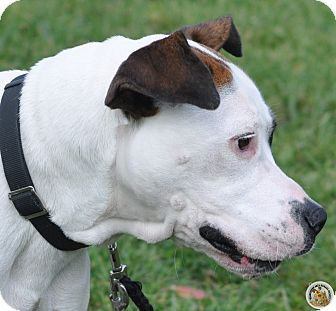 Boxer/American Staffordshire Terrier Mix Dog for adoption in Eighty Four, Pennsylvania - Marley
