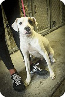 American Bulldog/Hound (Unknown Type) Mix Dog for adoption in Tallahassee, Florida - Clarence - Urgent