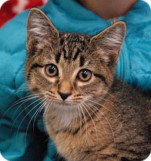 Domestic Shorthair Kitten for adoption in Winchendon, Massachusetts - Calvin