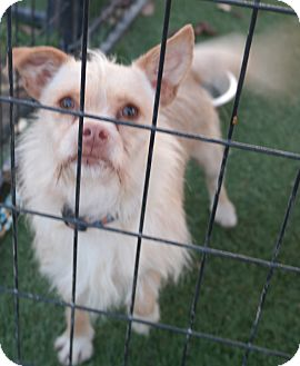 Terrier (Unknown Type, Small) Mix Dog for adoption in San Pablo, California - SUNNY