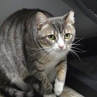 Domestic Shorthair Cat for adoption in Atlanta, Georgia - Stormy 12217