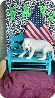 Boxer/American Bulldog Mix Puppy for adoption in Forest Hill, Maryland - Chip