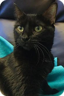 Domestic Shorthair Cat for adoption in Dallas, Texas - zzEloise