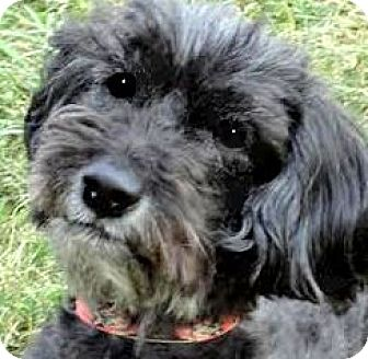 "Terrier (Unknown Type, Small)/Poodle (Toy or Tea Cup) Mix Dog for adoption in Wakefield, Rhode Island - SPARKY(OUR ""TERRI-POO"" !!"