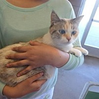 Calico Cat for adoption in Fresno, California - MaMa Kitty