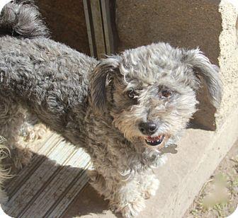 Poodle (Miniature)/Schnauzer (Miniature) Mix Dog for adoption in Norwalk, Connecticut - Baggins