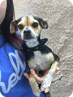 Chihuahua Mix Dog for adoption in Las Vegas, Nevada - Diamond