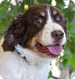 English Springer Spaniel Dog for adoption in Minneapolis, Minnesota - Buddy