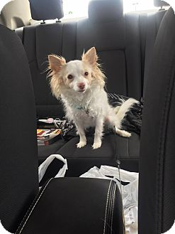 Chihuahua Mix Dog for adoption in Staunton, Virginia - Tink