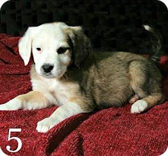 Catahoula Leopard Dog/Shepherd (Unknown Type) Mix Puppy for adoption in Lufkin, Texas - Yancey