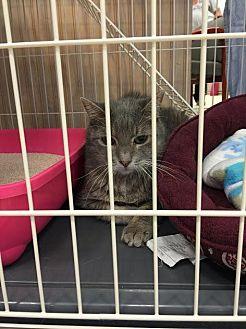 Domestic Shorthair Cat for adoption in Westbury, New York - Minky