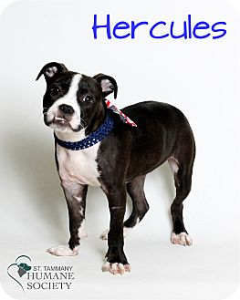 American Pit Bull Terrier Mix Puppy for adoption in Covington, Louisiana - Hercules
