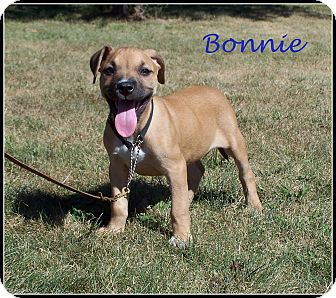 Beagle/Boxer Mix Puppy for adoption in Milford, New Jersey - Bonnie