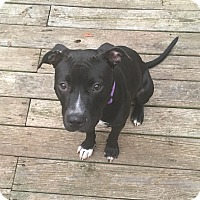 Adopt A Pet :: Maya - Fredericksburg, VA