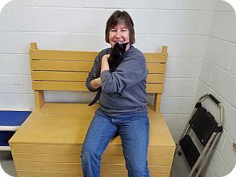 Domestic Shorthair Kitten for adoption in Elyria, Ohio - Gabriel