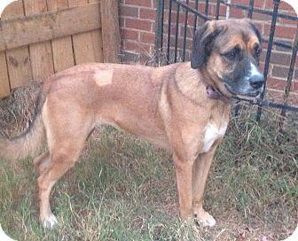 Rhodesian Ridgeback/Labrador Retriever Mix Dog for adoption in Westport, Connecticut - Rebekah