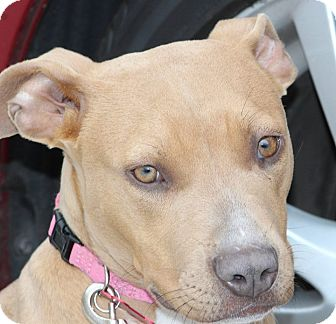 Staffordshire Bull Terrier/American Pit Bull Terrier Mix Puppy for adoption in Phoenix, Arizona - Perriwinkle