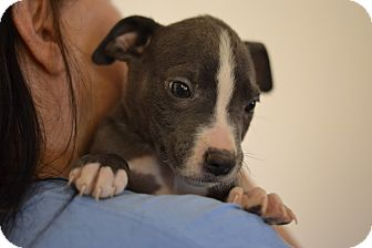 American Pit Bull Terrier Mix Puppy for adoption in Acworth, Georgia - Ancient Times - Eras of Histor