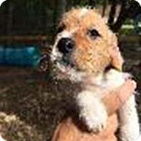 Adopt A Pet :: Dox Terrs Griswald - Chantilly, VA