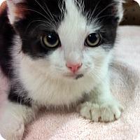 Adopt A Pet :: Cookies 'n Cream - Santa Fe, NM
