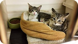 Domestic Shorthair Kitten for adoption in Northfield, Ohio - TIPPY