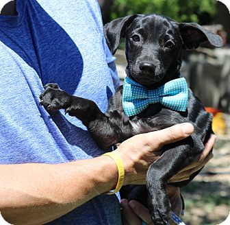 Dachshund/Terrier (Unknown Type, Small) Mix Puppy for adoption in Olympia, Washington - Zach