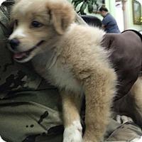 Pomeranian/Terrier (Unknown Type, Medium) Mix Puppy for adoption in Wahiawa, Hawaii - Eevee