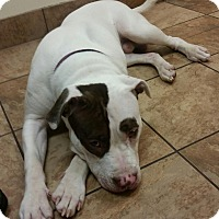 Pit Bull Terrier Mix Dog for adoption in Linwood, Michigan - Jagger