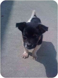 Jack Russell Terrier/Beagle Mix Puppy for adoption in Covington, Kentucky - Alee