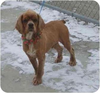 Cocker Spaniel Dog for adoption in Austin, Minnesota - Schroeder