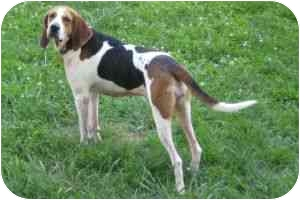 Foxhound/Coonhound (Unknown Type) Mix Dog for adoption in Rockville, Maryland - Molly