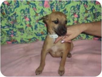 Shepherd (Unknown Type) Mix Puppy for adoption in Weeki Wachee, Florida - Kaylee