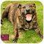 Photo 2 - American Pit Bull Terrier Mix Dog for adoption in Marina del Rey, California - Peanut