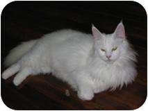Turkish Angora Cat for adoption in Putnam Hall, Florida - Dancer
