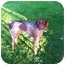 Photo 2 - German Shorthaired Pointer Mix Dog for adoption in Bellingham, Washington - Ruger