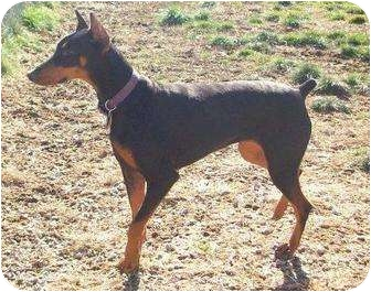 Doberman Pinscher Dog for adoption in New Richmond, Ohio - Scout--adopted!!