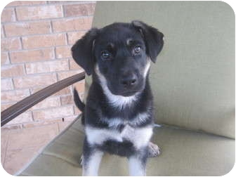 German Shepherd Dog/Husky Mix Puppy for adoption in Dripping Springs, Texas - Alfie