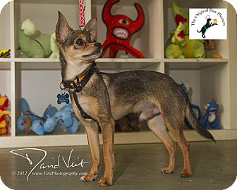 Chihuahua Mix Dog for adoption in San Diego, California - Tony