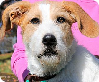 Airedale Terrier/Fox Terrier (Wirehaired) Mix Puppy for adoption in Wakefield, Rhode Island - MAX(COOL!! SCRUFFY PUPPY!!!