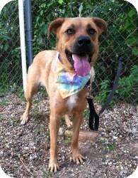 Black Mouth Cur/Labrador Retriever Mix Dog for adoption in Kingwood, Texas - Annie