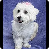 Adopt A Pet :: Lulu - Fort Braff, CA