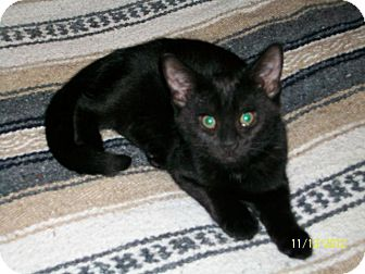 American Shorthair Cat for adoption in Tampa, Florida - Midnight