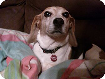 Beagle Dog for adoption in Wilmington, Delaware - Ginger